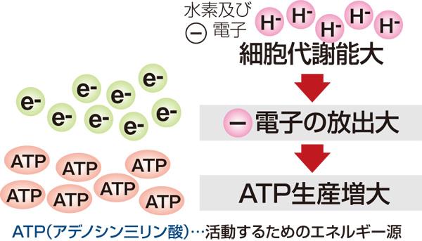 ATP生産増大