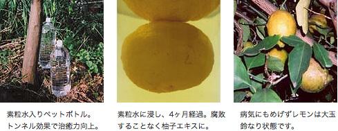 素粒水入りペットボトル。トンネル効果で治癒力向上。素粒水に浸し、4ヶ月経過。腐敗することなく柚子エキスに。病気にもめげずレモンは大玉鈴なり状態です。
