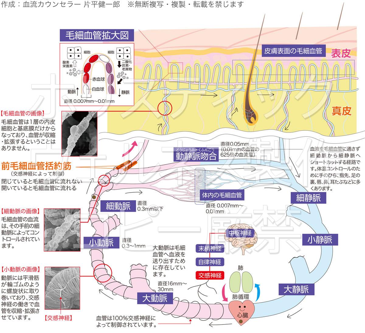 体循環と皮膚表面の毛細血管画像